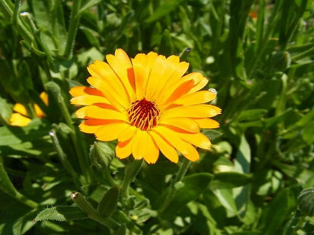 Pot Marigold | Medicinal Plants You Can Grow In Your Backyard | Survival Life