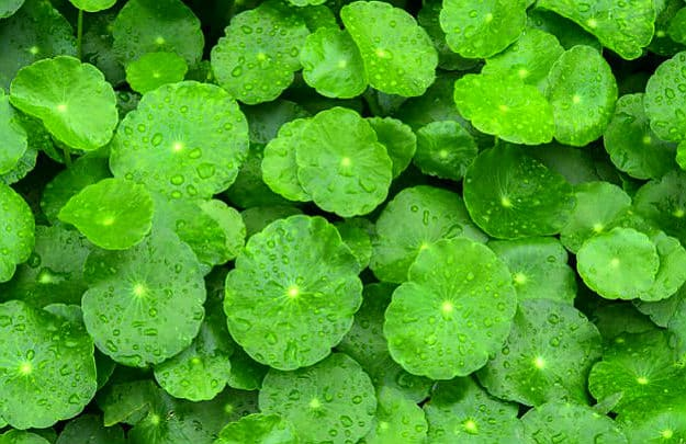Gotu Kola | Medicinal Plants You Can Grow In Your Backyard | Survival Life