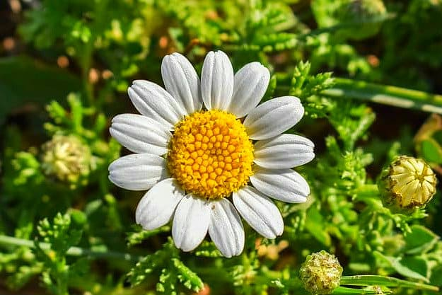 Chamomile | Medicinal Plants You Can Grow In Your Backyard | Survival Life