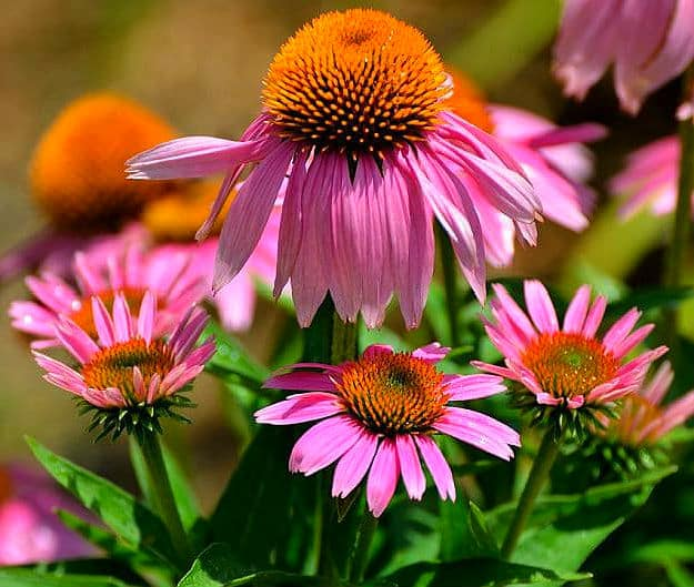 Echinacea | Medicinal Plants You Can Grow In Your Backyard | Survival Life
