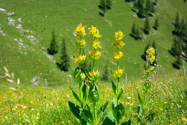 Yellow Gentian | Medicinal Plants You Can Grow In Your Backyard | Survival Life
